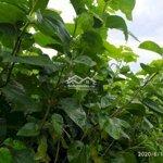 Bán Đất Thổ Cư + Vườn Cà Phê, Đâu Tằm