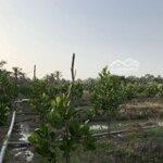 Đất Trồng Mít Xen Canh Dừa Xã Phú Nhuận