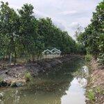 Bán Mít Lá. Vườn Mít Thái 1.600 Gốc, 2 Năm Tuổi