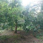 Cần Bán 2,8 Công Vườn Sabo,Dừa Vĩnh Kim.mỹ Tho