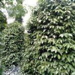 Bán đất trồng cafe hồ tiêu gialai 1ha đầy đủ tiện nghi