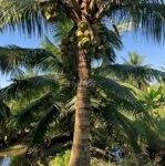 Cho thuê 1.500m đất vườn dừa, gần chợ phú nhuận