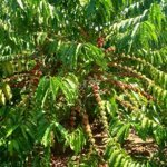 Bán rẫy cà phê đang thu hoạch ( 4,2 sào )