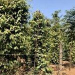 Bán rẫy tiêu 18ha và cây ăn trái chỉ có 6 tỉ, liên hệ 0984.003.893