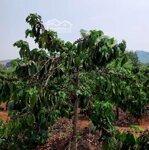 Bán rẫy cà phê đang thu hoạch 4280m2