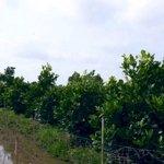 Bán 25 công đặc sản mít thái sắp cho trái và nhãn