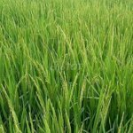 Bán 80.000m2 đất trồng lúa tại kiên giang