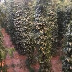 Cần bán rẫy 5ha đang trồng tiêu. thu hoạch 15 tấn/1 vụ tại thôn đăklư nâm n''giang đăk song đăk nông