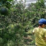 Vườn cam sành 18.700m2 đường xe tải đang thu hoạch