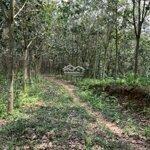 Bán rừng cao su điện biên 57 ha - 6 năm tuổi. liên hệ: 0982889099