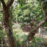 Bán 3000 vườn cây xã bình thành cao lanh