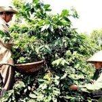 Bán vườn cà phê tại đức trọng, lâm đồng 1,2 ha, chỉ 2,4 tỷ