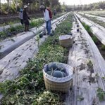 Cho thuê đất canh tác nông nghiệp
