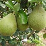 Bán vườn cây ăn trái đủ loại, nghỉ dưỡng tuyệt vời