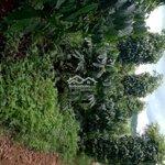đất vườn cafe tiêu và nhiều loại cây ăn trái