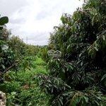 Bán vườn cây ăn trái gồm sầu riêng, bơ booth, mít
