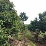 Cần bán 3,1 ha rẩy sầu riêng năm thứ 6,7 tại xã quảng tín, đăkrlấp, đăk nông