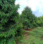 Cần bán đất rẫy sầu riêng đã có thu tại huyện dăk r''lấp, tỉnh đăk nông
