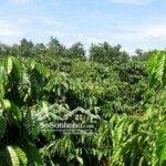 Bán đất rẫy cà phê đẹp huyện chư sê