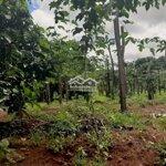 Bán 8 sào đẩt rẫy, nhà, gồm nhiều loại cây eahleo