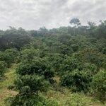 Bán rẫy đắk nông, có nhà cấp 4, mua thu hoạch ngay, giá bán 580 triệu/1,3ha, sổ đỏ chính chủ 0932 694 124