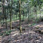 Cần bán rừng cao su tại huyện mường ảng,tỉnh điên biên.
