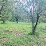 Bán đất tại tân phong, cao phong, hòa bình. đất trồng cam bưởi, đất phẳng.