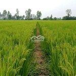 đất trồng lúa
