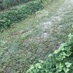 đất vườn đẹp trồng sẵn táo và chanh đang thu hoạch