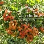 Cần bán vườn trái cây ăn trái lâu năm