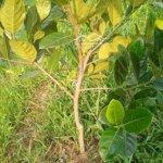 Bán cây mít lá