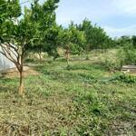 Cần bán 2xao 8 đất rẫy sát suối huyện cư jut tỉnh đăk nông giá tôt hiện đang trồng quýt đã cho thu hoạch