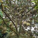 đất sầu riêng cây ăn trái