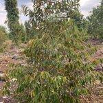 Cho thuê đất trồng cây lâu năm 1.5 mẫu
