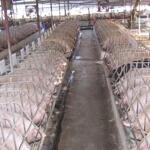 Sang nhượng trang trại lợn thanh hóa
