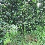 Cho thuê đất vườn 7 triệu/công/năm.có cam chanh...