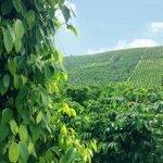 500 triệu/ha đất dăk song đẹp,cafe tiêu chăm kỹ lưỡng!