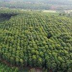 Bán gấp 4ha đất cao su thu chính tại đăk mil