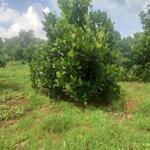 Cần bán vườn trái cây hai mặt tiền tại xã bảo bình,huyện cẩm mỹ, tỉnh đồng nai