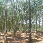 7 ha đất cao su, giáp suối giá rẻ 700tr/ha.