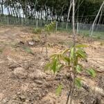2 sào rưỡi đã trồng cây ăn trái, mít, sầu riêng, dừa, vú sữa … rào lưới b40 vuông vức,bằng phẳng.