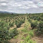Bán 7 ha rẫy bơ ở huyện đắk đoa xã dak smei gia lai 1.4 tỷ