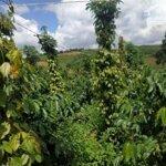 2.22 ha đất trồng sầu riêng, cà phê, tiêu giá chỉ 1.4 tỷ.