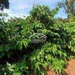 đất rẫy cà phê sen cây ăn trái