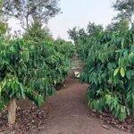 Bán 2,3 ha đất hẻm tỉnh lộ 2 xã ea na - krông ana - đak lak giá chỉ 550 triệu/ha.