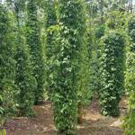 Cần bán 1 lô đất dt 3ha thôn 10 đăk wer-đăkrlấp đăk nông.tiêu 8 tấn.cà 3 tấn.