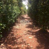 Vườn rẫy tiêu điều cao su khu vực xã Đông Hà, Đức Linh, Bình Thuận LH: 0968775235