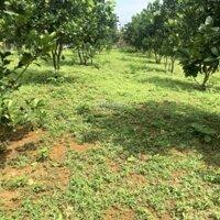 Bán gấp 3000m2 toàn bộ vườn đã trồng bưởi Diễn đã được 5 năm tại lương Sơn,hoà bìnhgiá rẻ LH: 0982567995