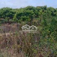 Vườn nhãn đã cho thu hoạch LH: 0934965837