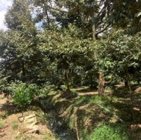 Thuê 7000m2 đất vườn sầu riêng huyện cai lậy LH: 0917322134